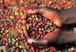 Kenya AA coffee berries