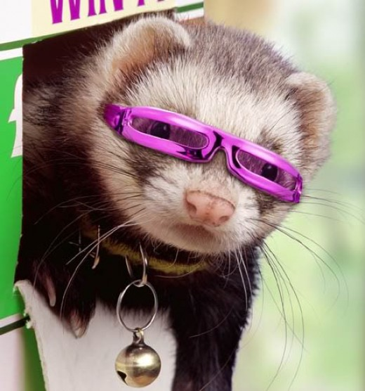Dress up Your Pets with Fun, Ferret Clothes