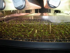 Seed Starting Under Fluorescent Lights