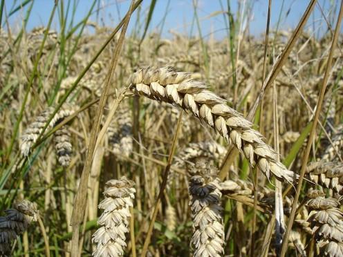 Wheat - source: Wikimedia Commons
