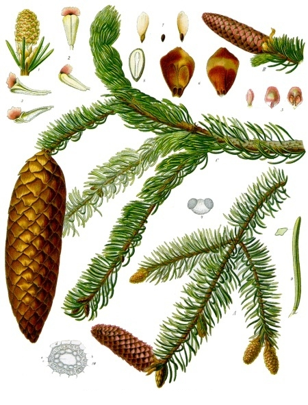 Illustration of the components of the Norway spruce.