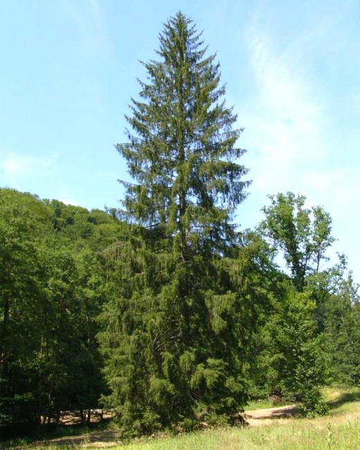 norway spruce makes a tall specimen .