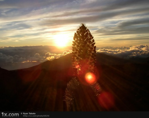 Description By Author: We left the house at 2:30 in the morning to make it up to the top by 4:30 for sunrise. This is what I would imagine heaven to be like. This is also the only place in the world to see this endangered Ahinahina (Silversword).