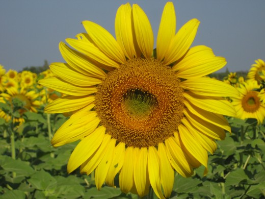 Sunflower Field in Chok Chai Farms Korat, Thailand