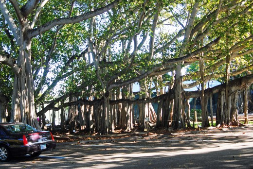 Banyan trees beside Edison's laboratory.