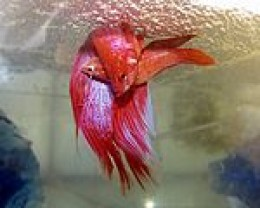 Betta Fish Food on To Check Out This Detailed Manual To Betta Fish Food