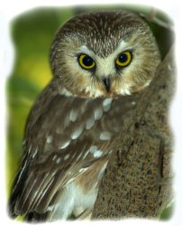 The owl gets its name from the tooting rhythmic screech.  Woodsmen thought it sounded like someone sharpening (whetting) a saw blade.