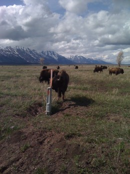Wild Bison in Wyoming