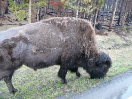 Wild Bison Yellowstone Park