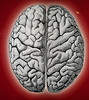 The brain is divided into two lobes. The left lobe governs speech and sequential logical tasks, and the right is more concerned with nonverbal, creative and musical tasks