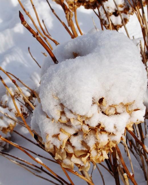 SNOWY HYDRANGEA IN SUNSHINE