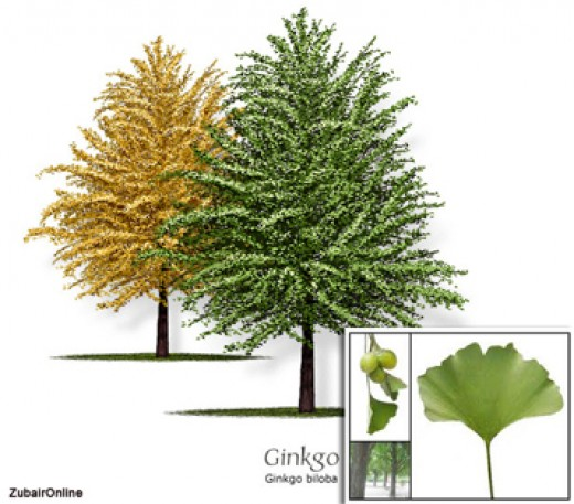Do you know what Ginkgo looks like?