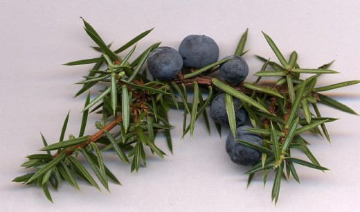 The needles and berries {female cones} of the juniper.