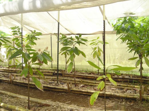 Newly planted cacao trees at Steelgrass Farms