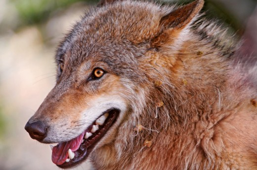 Grace would always watch for her wolf, the one with yellow eyes.