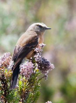 Brown-backed Chat-tyrant (Ochthoeca fumicolor)