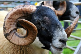 Close up 'wildlife' shots too - look at those horns!  David Lloyd-Jones 2010