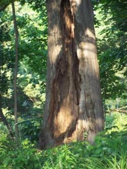 The Old Tree Haiku.