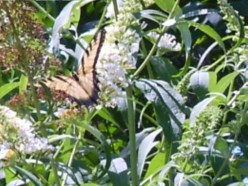 How toEncourage-Butterflies-Into Your Garden-Spring- Garden -