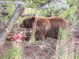 Black Bear Fresh Kill Near Lamar Valley