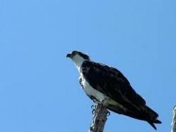 Osprey on its perch