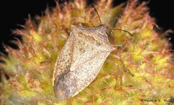 Stink-Bugs-How do you get rid of them?