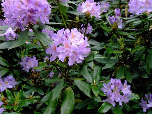 Flowers of R. ponticum are numerous and impressive.