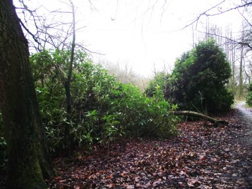 R.ponticum soon invades pathways in woodland