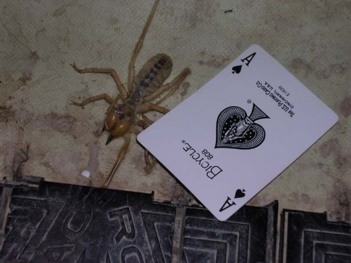 The average camel spider is rarely larger than a playing card or pack of cigarettes.