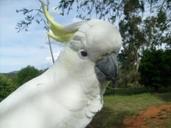 Cockatoos - All about Sulphur Crested Cockatoos