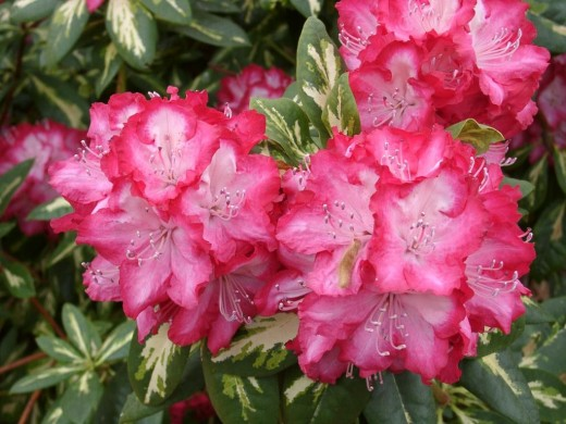 "Rhododendron ""President Roosevelt"" note the variegated foliage."