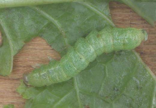 Diamondback moth caterpillar