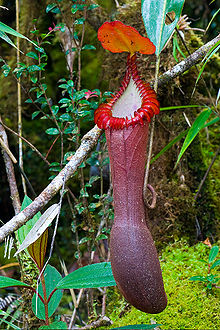 Upper Pitcher of Nepenthes Edwardsiana