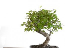 Indoor bonsai trees are mystical, magical and beautiful.