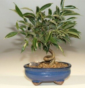 Ficus bonsai trees are great indoor bonsai and beginner trees.