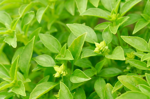 Small-leaved Basil Fino Verde (also known as Piccolo). Image:  Imageman|Shutterstock.com