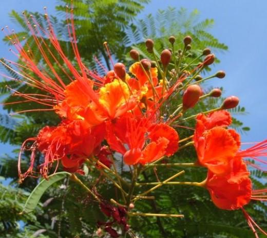 Flambo or Fire Acacia
