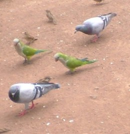 Monk parakeets and pigeons