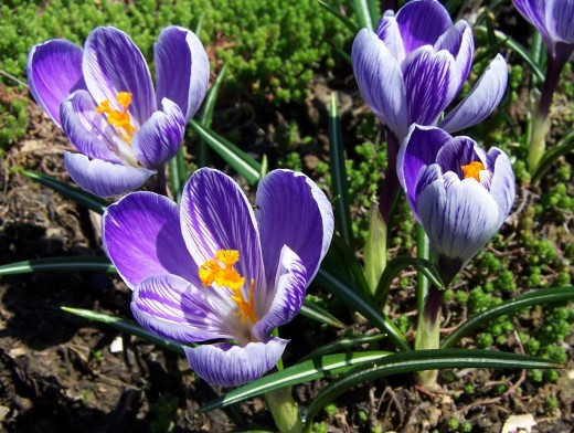 Crocus bulbs bloom in a variety of colors