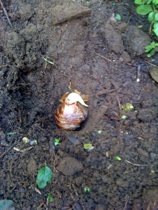 A bulb in a hole in the ground, ready to be covered