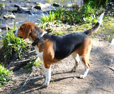 the beagle dog