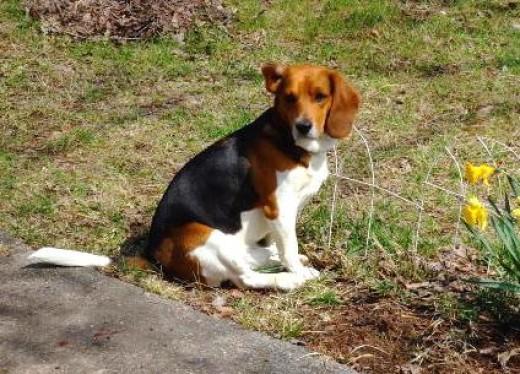 cute beagle hound