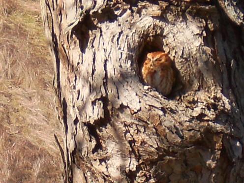 Eastern Screech Owl - Red Morph