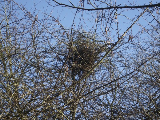 MAGPIES NEST IN SHRUB