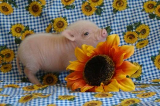 Pig Fully Grown