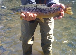 A brown trout caught in the Truckee River with a size 14 Elk Hair Caddis (black bodied) - [click to enlarge] -