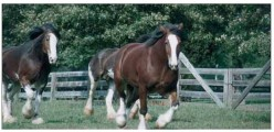 Clydesdale Draft Horse