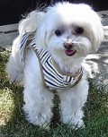 Toto in the Striped Vest