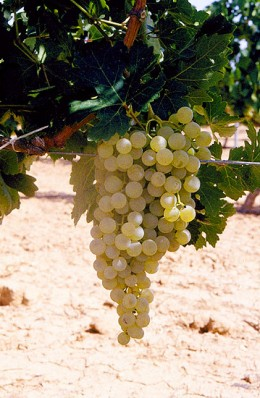 Airen Grape for making Brandy de Jerez