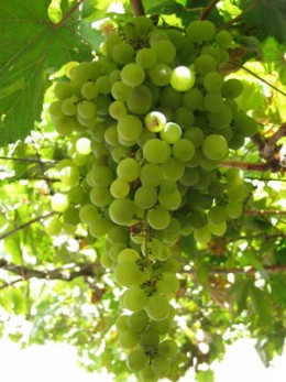 Palomino Grape for making Brandy de Jerez